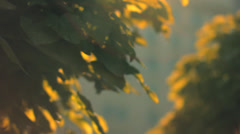 Artistic Lens Flare Through Tree Leaves - stock footage