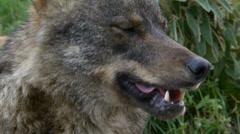 Iberian wolf closeup Stock Footage