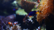 Stock Video Footage of Saltwater fish and coral