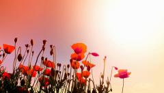 Beautiful poppies flowers on the wind at sunset with warm sun light Stock Footage