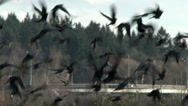 Stock Video Footage of Crow, Crows, Raven, Bird, Fly, Flying, 4K
