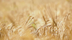 Cereal plant on wind Stock Footage