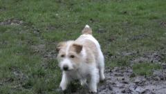 Small dog playing in mud HD - stock footage