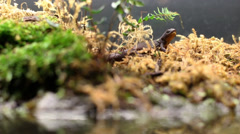 Gecko Side Tracking shot Stock Footage
