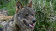 Closeup of the head of the Iberian wolf Stock Footage