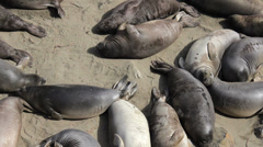 Two Elephant Seals Fighting With Each Other Stock Footage