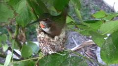 Hummingbird hen building her nest super close-up Stock Footage