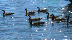Canada Goose Stock Footage