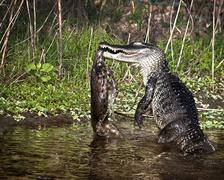 Alligator vs. Bobcat Stock Photos