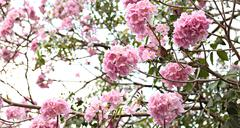 pink flowers blooming on winter. - stock photo