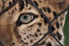 amur leopard looking through a fence - stock photo