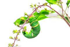 the green caterpillar on a branch - stock photo