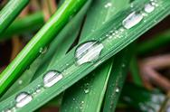 Stock Photo of water droplets on a leaf rice