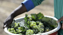 Farm worker holding a basket of wine grapes Stock Footage