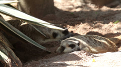 Meerkat family playing under the tree Stock Footage