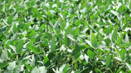 Stock Video Footage of Soy field - close up