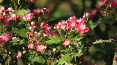Blooming red flowers of Midland Hawthorn, Crateagus laevigata (poir) - close up Stock Footage