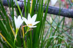 Rain lily white (zephyranthes candida) Stock Photos