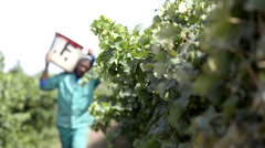 Focus roll and slide towards grapes on vine - stock footage