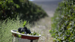 Static shot of picked wine grapes in basket Stock Footage
