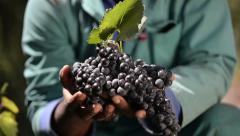 Roll focus to hands holding freshly-picked red wine grapes Stock Footage