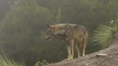 Iberian wolf in the mist Stock Footage
