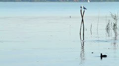 Waterbird on the lake - stock footage