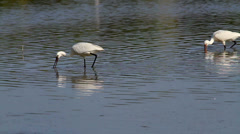 Group of spoonbill birds looking for food Stock Footage