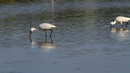 Stock Video Footage of Group of spoonbill birds looking for food