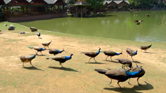 Abundance of peacocks flying over the lake Stock Footage