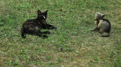 Domestic cat lying down on grass Stock Footage