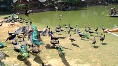 Dai ethnic minority people wave flags and make peacocks fly over the lake Stock Footage