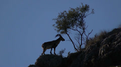 Male Iberian ibex Stock Footage
