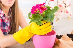 planting colorfull flower in a flowerpot - stock photo