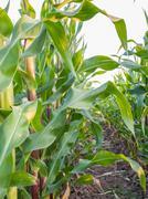 Corn field, maissi siementen tuotannon alalla maatilalla Kuvituskuvat