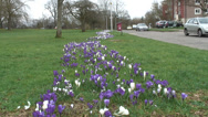 Stock Video Footage of Wide shot mass of purple & white Crocus-10