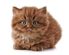 British long hair kitten Stock Photos