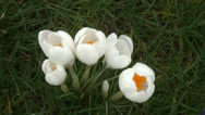 Stock Video Footage of Big close up looking down on white Crocus-07
