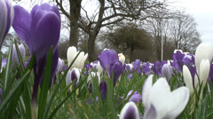 Low angle mass of purple & white Crocus-06 Stock Footage