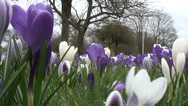 Stock Video Footage of Low angle mass of purple & white Crocus-06