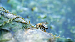 Bee on watering place Stock Footage