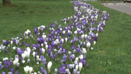 Stock Video Footage of Wide shot mass of purple & white Crocus-02