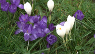 Stock Video Footage of Big close shot mass of purple & white Crocus-01