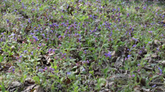 Pulmonaria Lungwort colorful forest flower blooms herb plant Stock Footage