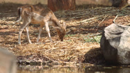 Stock Video Footage of Hog deer eating grass food.