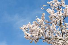almond tree springtime blooming of white flowers over blue sky - stock photo