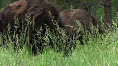 Buffalo searching through grass for food Stock Footage