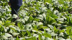 Tobacco farm and farmer spray apply fertilizer for plants Stock Footage