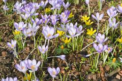 springtime with crocuses - stock photo