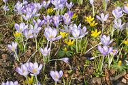 Stock Photo of springtime with crocuses